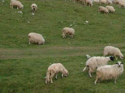 Ovce (ilustracija) -
