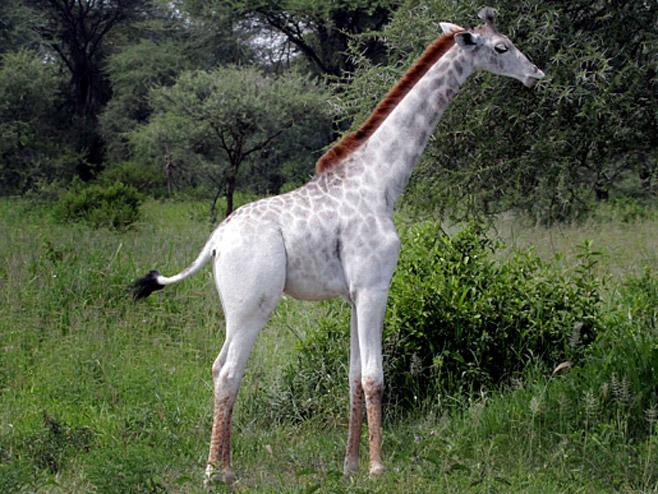 Bijela žirafa - Foto: The Telegraph