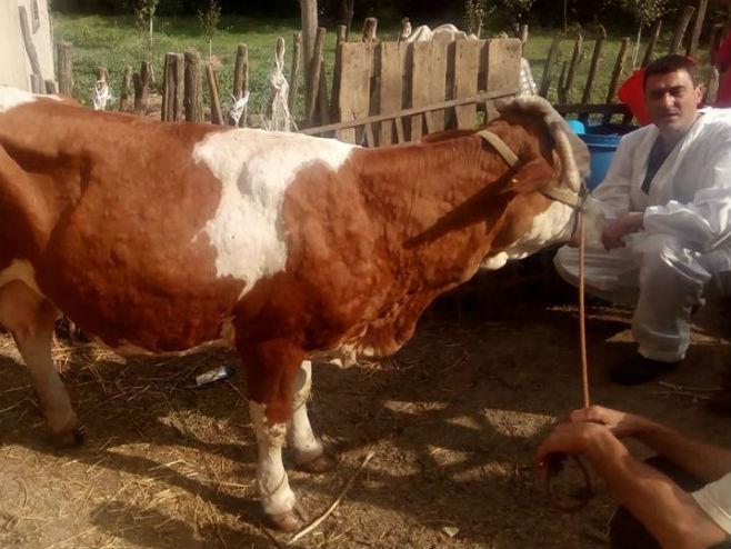 """Bolest krava - """"kvrgava koža"""" - Foto: RTRS"""