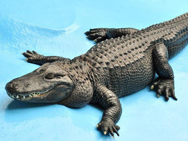 Muja, najstariji američki aligator (Foto: beozoovrt.rs) -
