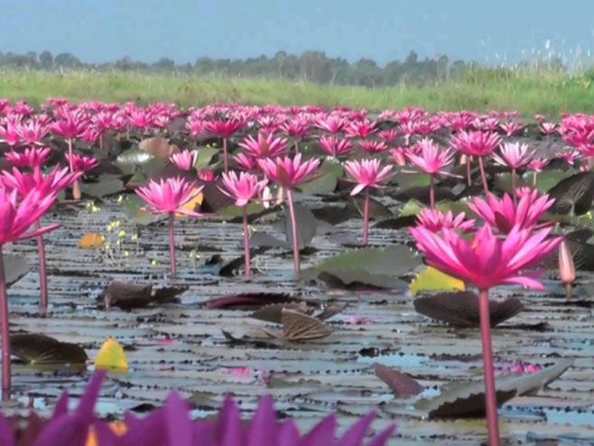 Јezero crvenih lotosa - Foto: Screenshot/YouTube
