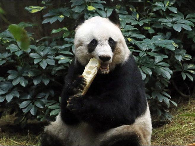 Panda - Foto: TANЈUG