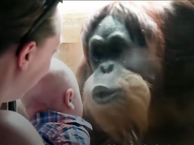 Orangutan i beba - Foto: Screenshot/YouTube