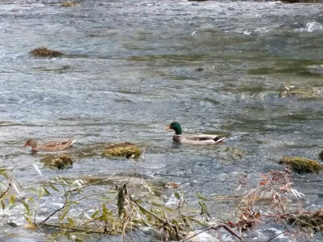 Divlje patke - Foto: RTRS