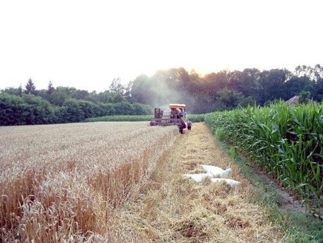 Žetva pšenice - Foto: SRNA