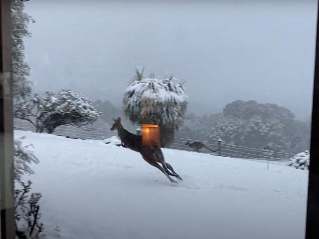 Kengur u snijegu - Foto: Screenshot/YouTube