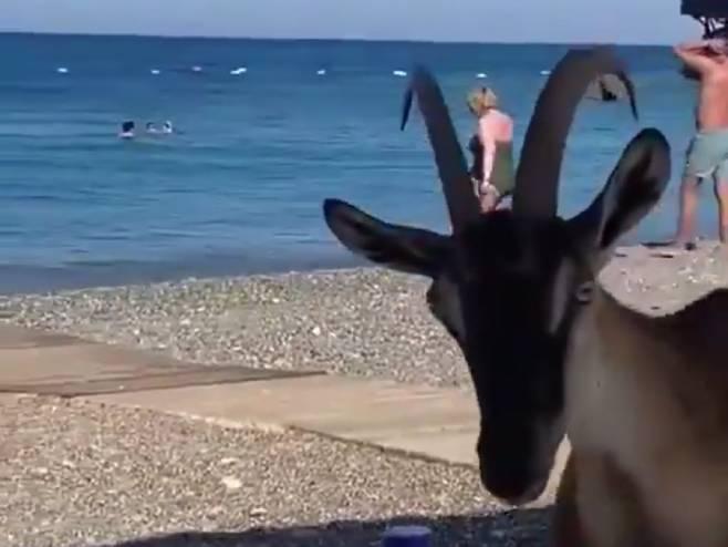 Koze na plaži u Albaniji - Foto: Screenshot