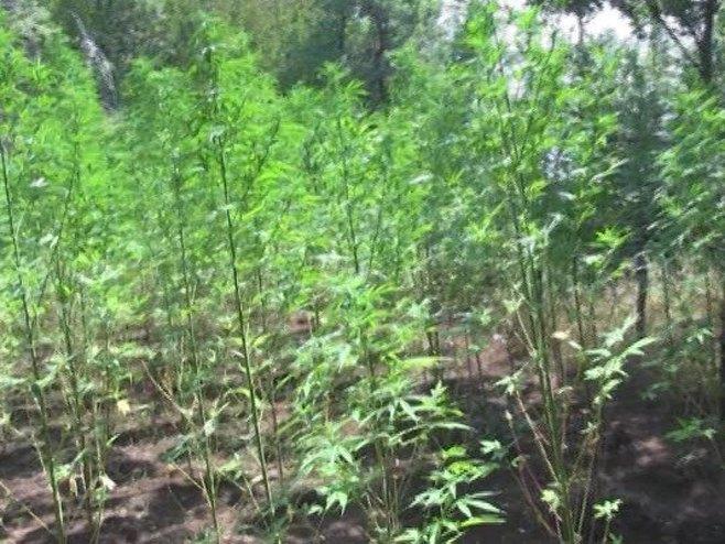 Planataća marihuane - Foto: RTRS